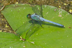 Eastern Pondhawk Dragonfly Royalty Free Stock Photo