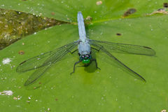 Eastern Pondhawk Dragonfly Stock Images