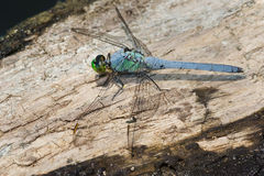 Eastern Pondhawk Dragonfly Royalty Free Stock Images