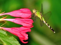 Eastern Pondhawk Dragonfly at Weigela flowers Stock Images