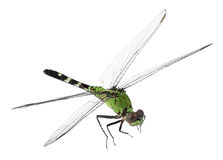 Eastern Pondhawk, Erythemis simplicicollis Stock Photo