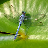 Eastern Pondhawk (Erythemis simplicicollis) Royalty Free Stock Images