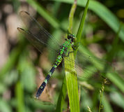 Eastern Pondhawk Stock Photos