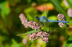 Eastern Pondhawk. Perched on wildflowers Royalty Free Stock Images