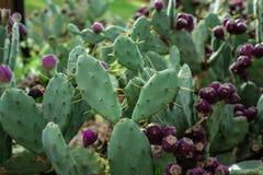 Eastern Prickly Pear tree cactus tree. Eastern Prickly Pear tree in garden cactus tree stock images