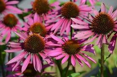 Eastern Purple Coneflower Echinacea. The medicinal garden plant Echinacea or Eastern Purple Coneflower Stock Photos