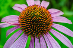 Eastern Purple Coneflower Stock Image