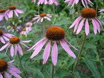 Eastern purple coneflower flowers (rudbeckia) Royalty Free Stock Photography