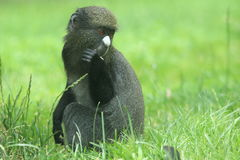 Eastern putty-nosed monkey Royalty Free Stock Photos