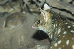 Eastern quoll. The detail of eastern quoll Stock Images