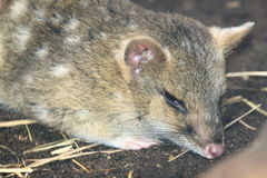 Eastern quoll Royalty Free Stock Image