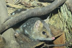 Eastern quoll. Lying on the wooden box Stock Images