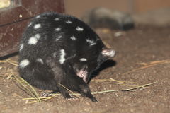 Eastern quoll Stock Photography