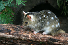 Eastern Quoll, Tasmania, Australia. Eastern Quoll sitting on a log Royalty Free Stock Photo