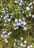Eastern Red Cedar. Juniperus Virginiana, commonly called Eastern Red Cedar, Eastern Juniper, Pencil Cedar and Aeromatic Cedar. If you`re looking at a female you stock image
