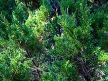 Eastern Red Cedar Thickets royalty free stock image