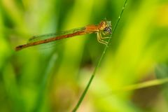 Eastern Red Damsel Damselfly - Amphiagrion saucium. Female Eastern Red Damsel Damselfly perched on a blade of grass eating a tiny fly. Taylor Creek Park, Toronto Stock Photos