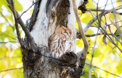 Eastern Red Morph Screech-Owl Megascops asio in Ash Tree. Eastern Red Morph Screech-Owl Megascops asio Sleeping in the Open During the Day in Ash Tree Stock Photos