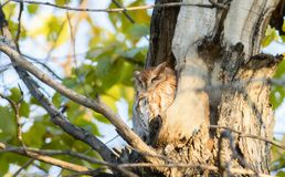 Eastern Red Morph Screech-Owl Megascops asio in Ash Tree. Eastern Red Morph Screech-Owl Megascops asio Sleeping in the Open During the Day in Ash Tree in Ash Royalty Free Stock Image