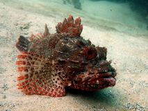 Eastern Red Scorpionfish. (Scorpaena jacksoniensis) lying on the ocean floor Royalty Free Stock Image