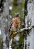 Eastern Red Shoulder Hawk stock image