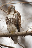 Eastern Red-tailed Hawk Royalty Free Stock Photo