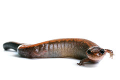 Eastern Redback Salamander Stock Photo