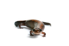 Eastern Redback Salamander Royalty Free Stock Image