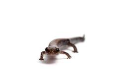 Eastern Redback Salamander Stock Photo