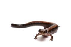 Eastern Redback Salamander Stock Photography