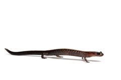 Eastern Redback Salamander Royalty Free Stock Images