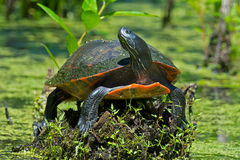 Eastern RedbellyTurtle Royalty Free Stock Images