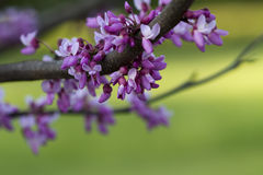 Eastern Redbud Background - Cercis canadensis. These are southern redbud, Cercis canadensis, blossoms that grow in my yard in Morgan County Alabama USA. I don't royalty free stock photography