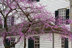 Eastern Redbud in Bloom Royalty Free Stock Image