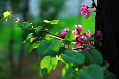 Eastern redbud Royalty Free Stock Images