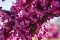 Eastern Redbud Flower. Close-up of an Eastern Redbud flower located along the Blue Ridge Parkway, Roanoke, Virginia, USA stock photos