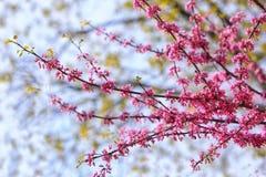 Eastern Redbud Flower stock image