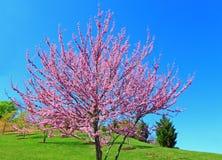 Free Eastern Redbud Tree Stock Images - 53483674