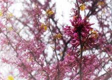 Eastern Redbud tree background Stock Photos