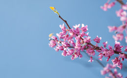Eastern Redbud tree, Cersis canadensis Stock Images