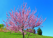 Eastern Redbud Tree Stock Images