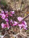 Eastern redbud tree stock images