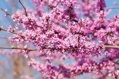 Eastern Redbud tree in spring Stock Images