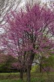 Eastern Redbud Tree in the Spring - Cercis Canadensis Stock Photography