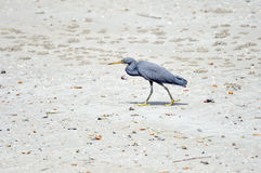 Eastern Reef Egret Royalty Free Stock Photo