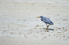 Eastern Reef Egret Royalty Free Stock Photography