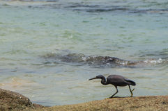 Eastern reef heron. Stalking its pray with copy space Stock Photo