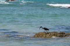 Eastern reef heron. Stalking its pray with copy space Royalty Free Stock Photos