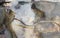 Eastern ribbon snake, Thamnophis sauritus Stock Photos
