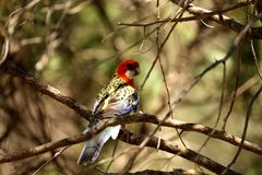 Eastern Rosella Royalty Free Stock Photography